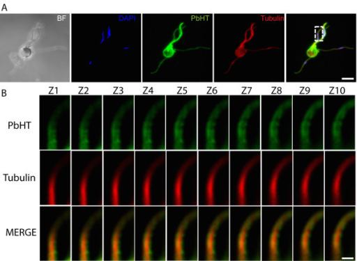 PbHT localizes to the male gamete surface. The P. berghei HT-myc line was labelled with an α-tubulin antibody (red), an anti-c-myc antibody (green) and stained with DAPI (blue). (A) 3-D projection of a male gametocyte in the process of exflagellation. Scale bar 5 μm. (B) Enlarged inset from (A) displaying the distribution PbHT-myc and α-tubulin in sequential Z stacks (0.1 μm). Scale bar 1 μm. PbHT-myc is abundant and localized to the periphery of male gametes.