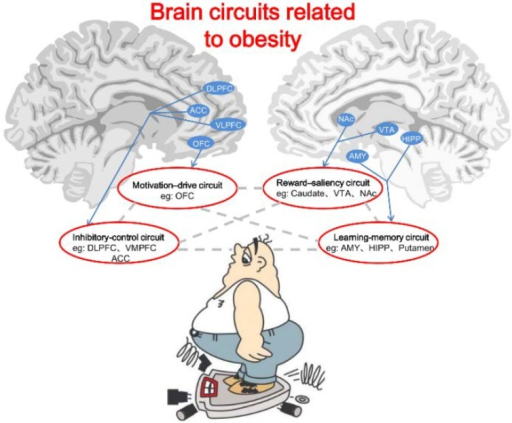 Circuit Brain Reusable : Brain circuits related to obesity the include