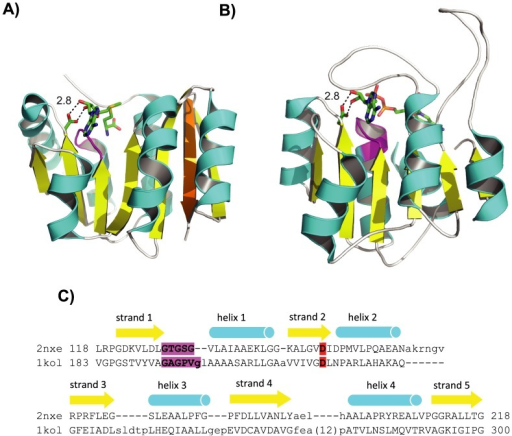 SAM MTases and Rossmann domains.(A) SAM MTases as represented by ribosomal protein L11 methyltransferase complexed with SAM (PDB 2nxe). (B) Rossmann domains as represented by formaldehyde dehydrogenase complexed with NAD (PDB 1kol). In (A) and (B), helices are colored in cyan, strands in yellow, and loops in white. The additional strand 7 in SAM-MTase is colored in orange. The respective cofactor, SAM or NAD, is shown in sticks. The Gly-rich loop beneath the cofactor is colored in magenta. The conserved Asp or Glu that forms hydrogen bonds with the adenosine ribose hydroxyls is shown in sticks. Diagrams are made by Pymol (The PyMOL Molecular Graphics System, Schrödinger, LLC. http://www.pymol.org/). (C) Manually modified DALI [22] alignment between the two domains shown in (A) and (B). Starting and ending residue numbers are labeled before and after the alignment. β-strands and α-helices are labeled numerically and shown in arrows and cylinders respectively above the sequence alignment. The Gly-rich loop is highlighted in magenta, and the conserved Asp or Glu is highlighted in red.