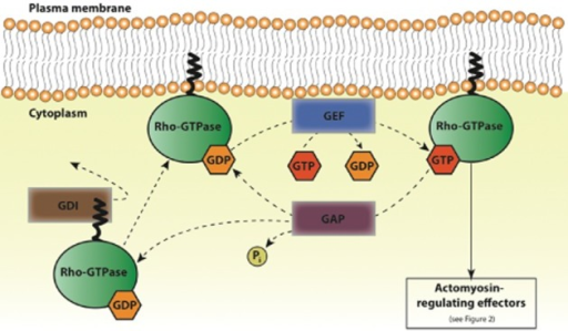 Rho-GTPase activation and inactivation by GEFs, GAPs and GDIs. Schematic of the activation cycle of Rho-GTPases (such as Rho, Rac and Cdc42), by GEFs, GAPs and GDIs. GDIs associate with GDP-bound Rho-GTPases and sequester them in an inactive state. Dissociation of the GDI from the Rho-GTPase allows for its anchoring to the plasma membrane via a prenyl group. GEFs catalyse GDP to GTP exchange and thus activate Rho-GTPases for interaction with downstream actomyosin-regulating effectors (detailed in Figure 2). GAPs stimulate the hydrolysis of GTP into GDP and phosphate (Pi) and thereby contribute to Rho-GTPase inactivation. GDP-bound Rho-GTPases are then again sequestered by GDIs or reactivated by GEFs.