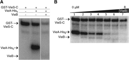 VieB is a dose-dependent inhibitor of phosphotransfer. (A) Purified GST-VieS-C was incubated with 32P-ATP-γ either alone (lane 1) or in the presence of equimolar VieA-His6 (lane 2) and 5 μM VieB (lane 3) for 30 minutes at 30°C. (B) GST-VieS-C was incubated with 32P-ATP-γ in the presence of equimolar VieA-His6 and either 0, 0.25, 0.5, 1, 2, 4, or 8 μM VieB for 30 minutes at 30°C. Samples were stopped with the addition of 2X-denaturing sample buffer and separated using a 10% SDS-Page gel. Proteins labeled with 32P were observed by radioautography. Figure panels are from the same experiment and exposed for the same amount of time. The radioautographs shown are a representative of three replicates. The band just below GST-VieS-C is a VieS degradation band, which is present in all figures and should be ignored.