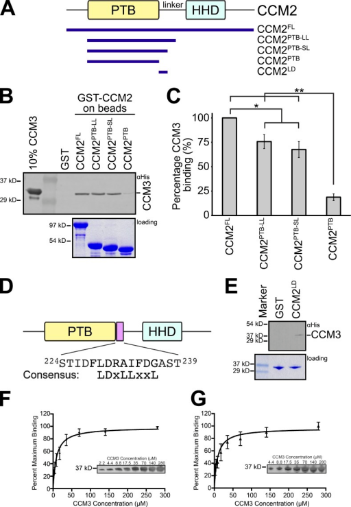 Mapping of the CCM3–CCM2 interaction. (A) Domain diagram for CCM2 and constructs used in this study. (B) Pull-down of 6×His-CCM3 by GST fusion CCM2 constructs. Pull-down was probed by immunoblotting for the His tag. (C) Quantification of pull-downs shown as a percentage of CCM3 that binds to CCM2FL. Values represent mean ± SEM (error bars). n = 5. Unpaired t test: *, P < 0.05; **, P < 0.001. (D) CCM2 contains an LD-like motif C-terminal to its PTB domain. The LD-like motif is indicated and the sequence is shown. Consensus LD motif residues are shown. (E) 6×His-CCM3 can be pulled down by GST-CCM2LD. Pull-down was probed by immunoblotting for the His tag. (F) Binding curve for CCM3 interaction with full-length CCM2. Increasing concentrations of 6×His-tagged CCM3 were incubated with a fixed concentration of GST-tagged CCM2FL on beads. The inset shows a Western blot. n = 3. (G) Same as in F, but GST-CCM2LD was used. n = 3. Error bars indicate SEM.