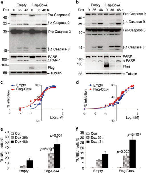 Cbx4 increases the sensitivity of SMMC-7721 and MHCC97L cells to doxorubicin-induced cell death. SMMC-7721 and MHCC97L cells were stably infected with empty or Flag-tagged Cbx4. (a and b) Doxorubicin was added into SMMC-7721, 2 μM (a) and MHCC97L, 3 μM (b) cells for 36 and 48 h, followed by immunoblots for the indicated proteins. (c and d) SMMC-7721 (c) and MHCC97L (d) with or without ectopic Cbx4 expression were respectively treated with and without different concentrations of doxorubicin for 36 h, and cell growth was assessed by CCK-8 assay and IC50 values of doxorubicin were calculated by GraphPad Prism 6 software. (e and f) SMMC-7721 (e) and MHCC97L (f) with or without ectopic Cbx4 expression were treated with 2 μM (e) or 3 μM (f) of doxorubicin for 36 and 48 h, and percentages of TUNEL-positive cells were calculated