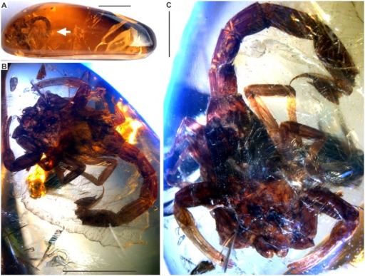 Tityus apozonalli sp. nov.[A]: Amber piece, arrow indicates the position of fossil inclusion, scale bar 10 mm. [B]: General view of fossil scorpion, scale bar 5 mm. [C]: Close view of the holotype male BLMACH.18, scale bar 2 mm.
