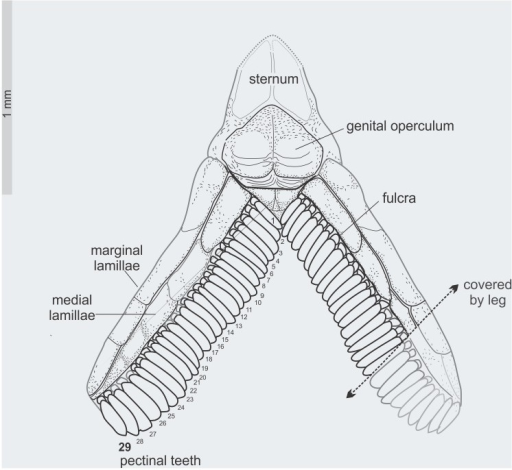Tityus apozonalli sp. nov.Schematic reconstruction of sternum and pectines showing fulcra and the number of pectinal teeth, punted arrow indicate the partially visible portion as covered by leg.