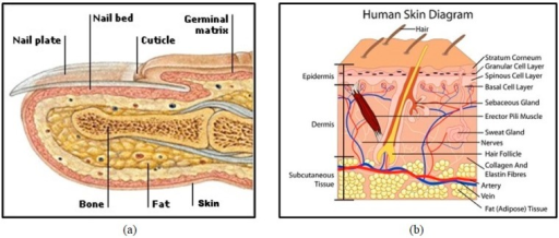 Human finger structure: (a) cross-section [23] and (b) skin diagram [24].