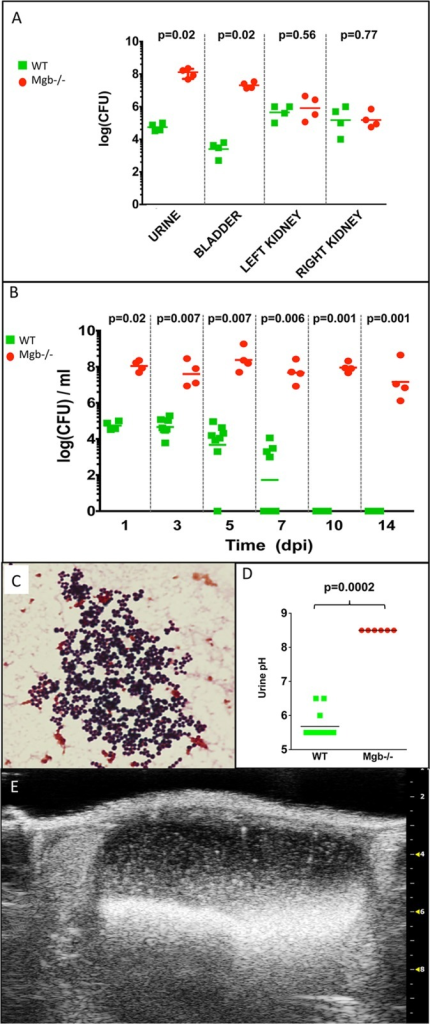 Mgb-/- mice develop persistent bacteriuria and alkaline pH following transurethral challenge with CONS292.(A) Mgb-/- mice exhibit increased magnitude of CONS292 recovery from urine and bladder than WT controls 1 dpi, but renal colonization is comparable. p values by Mann-Whitney U test are indicated above the graph. (B) Mgb-/- mice develop persistent bacteriuria, whereas WT control clear CONS292 from urine by 10 dpi. p values by Mann-Whitney U test are indicated above the graph. (C) Gram-positive cocci in clusters from Mgb-/- urine 14 dpi with 108 CFU of CONS292. 100x objective. (D) Mgb-/- urine is uniquely alkaline compared to WT urine 10 dpi with CONS292. p value by Mann-Whitney U test is indicated above the graph. Similar results were obtained 3 dpi with p = 0.0001 (Data not shown). (E) Echogenic debris in a Mgb-/- bladder 14 dpi CONS292, confirmed as bladder stones at necropsy.