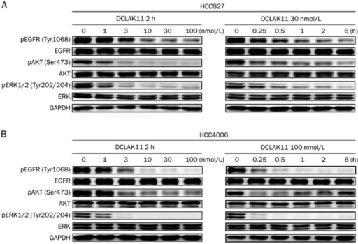 DCLAK11 blocks EGFR phosphorylation and downstream signaling in HCC827 (A) and HCC4006 (B) cells with concentration-dependent and time-dependent manner. Cells were cultured in the presence of different concentrations of DCLAK11 for 2 h or treated with indicated concentrations of DCLAK11 for increasing durations (0.25–6 h), then whole-cell lysates were assayed by Western blots.