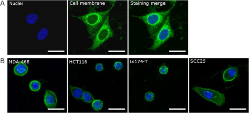 Representative images (maximum intensity projections) of five cell lines that were fluorescently labelled for estimating cell volume using 3D confocal microscopy.Merged images show the simultaneous staining of the nucleus (blue, Hoechst 33342, 3.2μM) and the cell membrane (green, PKH26, 2μM) in (A) HeLa cells and in (B) the MDA-468, HCT116, Ls-174T, and SCC25 cells. Scale bars represent 10μm.