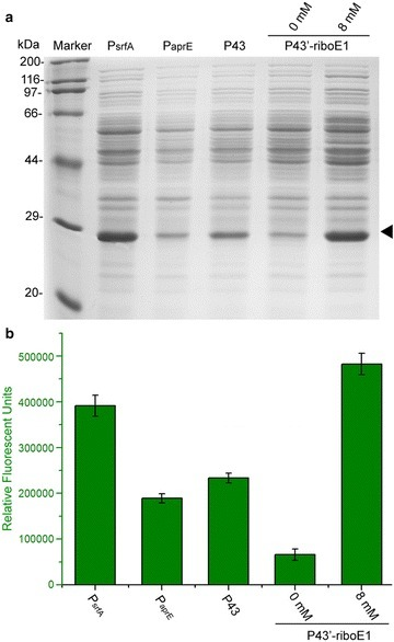 Comparison of the induced expression level with P43′-riboE1 and three strong promoters from B. subtilis. a SDS-PAGE analysis of GFP controlled by the constitutive promoters PsrfA, PaprE, P43 and by the theophylline-induced element P43′-riboE1. The BSG11 strain was activated by 8-mM theophylline for 24 h prior to sampling for SDS-PAGE. b Fluorescence intensity representing the relative expression level was driven by three constitutive promoters as well as by the P43′-riboE1 element after induction by 8-mM theophylline for total 31 and 24-h culture periods, respectively. The GFP fluorescence was measured in triplicates and the data were shown in mean ± SD
