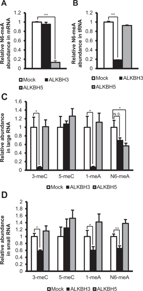 ALKBH3 and ALKBH5 have distinct roles in RNA demethylation.The larger RNA fraction, smaller RNA fraction, tRNA, and mRNA were incubated in the absence (Mock) or presence of ALKBH3 or ALKBH5, enzymatically degraded to nucleosides, and then subjected to LC-ESI-MS/MS. The peak areas of methylated nucleosides were normalized to that of cytidine. (A) ALKBH5, but not ALKBH3, demethylated N6-meA in mRNA. (B) ALKBH3, but not ALKBH5, demethylated N6-meA in tRNA. (C) In the larger RNA fraction, ALKBH3 demethylated 3-meC and 1-meA. On the other hand, ALKBH5 demethylated only N6-meA. (D) In the smaller RNA fraction, ALKBH3 demethylated 3-meC, 1-meA, and N6-meA. On the other hand, ALKBH5 did not demethylate any of the methylated nucleosides. Data show means ± S.D. (n = 3). N.S.: p > 0.05, *p < 0.05, **p < 0.01.