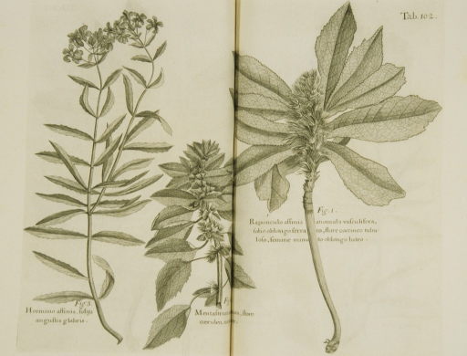 <p>Illustration of plants, including mint and clary.</p>