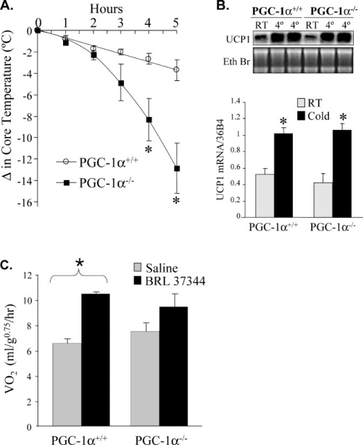 PGC-1α−/− Mice Exhibit an Abnormal Thermogenic Response(A) PGC-1α+/+ (n = 15) and PGC-1α−/− (n = 21) mice aged 28–37 d were subjected to cold (4 °C). Core rectal temperature was monitored over a 5-h period. The change in core temperature ± SEM is shown in the graph (left) as a function of time. * p < 0.05.(B) Representative Northern blot analysis (blot and gel at top) performed with RNA isolated from BAT to detect UCP-1 transcript at baseline (RT) and after 5 h of exposure to cold (4 °C) (UCP1). Ethidium bromide (Eth Br) staining of ribosomal RNA is shown as a control. Quantitative real-time RT-PCR for UCP-1 transcript is shown on the graph at the bottom. The values represent mean arbitrary units normalized to a 36B4 transcript (control).(C) Altered response to β3-adrenergic agonist. To evaluate the oxygen consumption (VO2) in response to the stimulation of BAT uncoupled respiration, the β3-adrenergic agonist BRL 37344 was administered to littermate PGC-1α+/+ (n = 5) and PGC-1α−/− (n = 5) female mice followed by measurement of VO2 by indirect calorimetry. Mean ± SEM VO2 is shown. * p < 0.05.