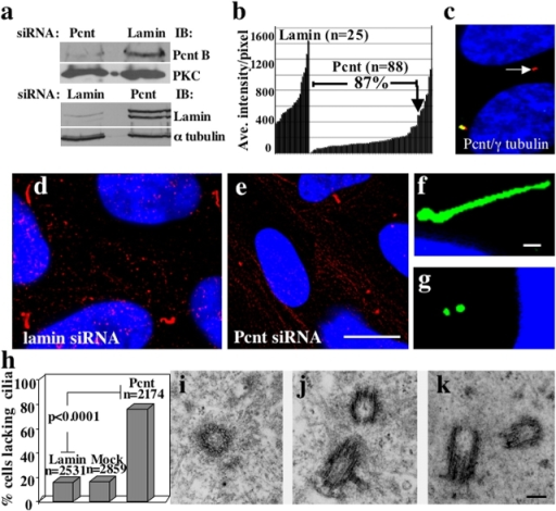 Pcnt silencing inhibits primary cilia formation. (a) Pcnt and lamin protein levels (Western blot) after siRNA as indicated. α-Tubulin or PKC, loading controls. (b) Fluorescence intensity of individual centrosomes (bars) after treatment with siRNAs targeting Pcnt or lamin. Centrosomal Pcnt is reduced to levels below the lowest control levels (lamin) in 87% of cells. (c) Immunofluorescence image of RPE1 cells after Pcnt silencing showing reduced centrosomal Pcnt in one cell (green, arrow) and normal level in the other. γ-Tubulin (red) is not significantly affected. Low (d and e) and high (f and g) magnification immunofluorescence images of cilia and centrioles stained with GT335 after treatment with Pcnt (e and g) or lamin (d and f) siRNAs. Bar in e, 5 μm (for d and e); bar in f, 1 μm (for f and g). DNA, blue. (h) Graph showing percentage of cells that lack cilia after treatment with indicated siRNAs. Bars represent average of three experiments. P value, standard t test. (i–k) Electron micrographs showing centriole structure in cells with reduced Pcnt. Bar in k, 200 nm (for i–k).