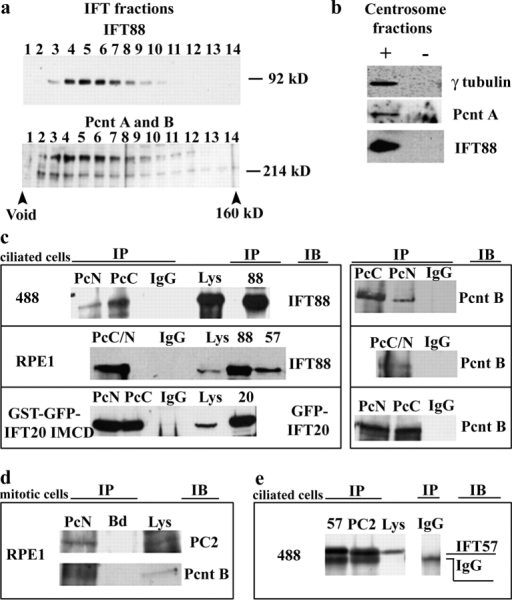 Pcnt interacts with proteins involved in cilia assembly and function. (a) Pooled IFT fractions from a sucrose gradient from mouse testes were applied to an FPLC column and fractions were loaded on SDS gels and probed with Pcnt antibodies or IFT88 antibody. (b) Pooled peak centrosome fractions from sucrose gradients (+) containing γ-tubulin, Pcnt, and IFT88 as indicated and pooled noncentrosome fractions (−). (c, top) Pcnt NH2- and COOH- terminal antibodies (PcN, PcC) independently immunoprecipitated endogenous IFT88 from lysates of ciliated 488 cells. IgG, nonimmune rabbit IgG, lysates (Lys) showing IFT88 at right. Pcnt immunoprecipitation confirmed (right). (c, middle) PcC/N immunoprecipitated IFT88 from ciliated RPE1 cells, as did antibodies to IFT88 and IFT57 but not rabbit IgG. (c, bottom) PcN and PcC pull down a GST–GFP–IFT20 fusion protein from a cell line stably overexpressing the protein, as does a glutathione column (IFT20), but not nonimmune IgG. Blots were probed with anti-GFP antibodies, immunoprecipitation with Pcnt (right); IB, immunoblot antibody. (d) PcN immunoprecipitated PC2 from mitotic RPE1 cells, whereas beads alone did not (Bd). Pcnt immunoprecipitation confirmed by immunoblot (Pcnt B). (e) PC2 antibody, but not rabbit IgG, immunoprecipitated IFT57 from ciliated 488 cells. IFT57, top band. Antibody heavy chain, bottom band.