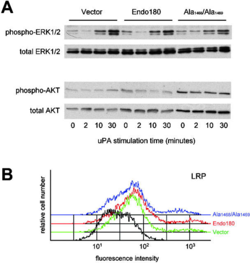 Endo189 expression does not alter ERK1/2 and Akt phosphorylation or cell surface LRP. (A) ERK1/2 and Akt phosphorylation in MCF-7 cells transfected with vector alone, Endo180 or Endo180(Ala1468/Ala1469) and stimulated with uPA. Blots show phosphorylated ERK1/2 and Akt together with total ERK1/2 and Akt as loading controls. (B) FACS® analysis of LRP cell surface expression levels in MCF-7 cells transfected with vector alone (green), wild-type Endo180 (red) or Endo180(Ala1468/Ala1469) (blue). Profiles in black represent vector transfected cells incubated with secondary antibody alone.