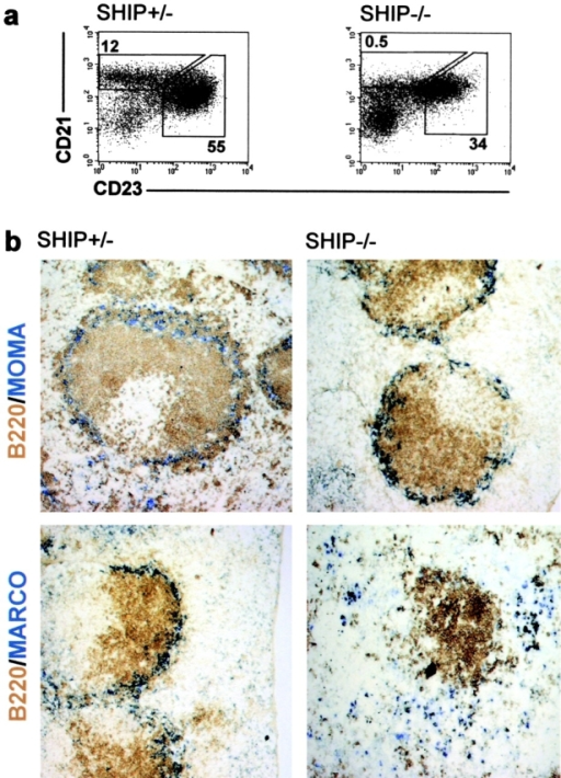 SHIP-deficient mice lack MZBs and MZMOs are displaced to the red pulp. (a) FACS® profiles of single cell suspensions from the spleen of SHIP-heterozygous (SHIP+/−) and -deficient (SHIP−/−) mice. MZBs were measured as the CD19+, CRIhigh, and CD23low population. The numbers shown represent percent of CD19+ cells for the depicted gates as an average of five mice. Numbers for the follicular B cells are shown for comparison. (b) Representative immunohistochemical analysis of above listed mice. At least four serial sections from each mouse were stained for MOMA-1+ (blue, top) metallophilic macrophages or MARCO+ MZMOs (blue, bottom). Sections were also stained for B220 (brown) to show the positioning of the follicle. ×10.