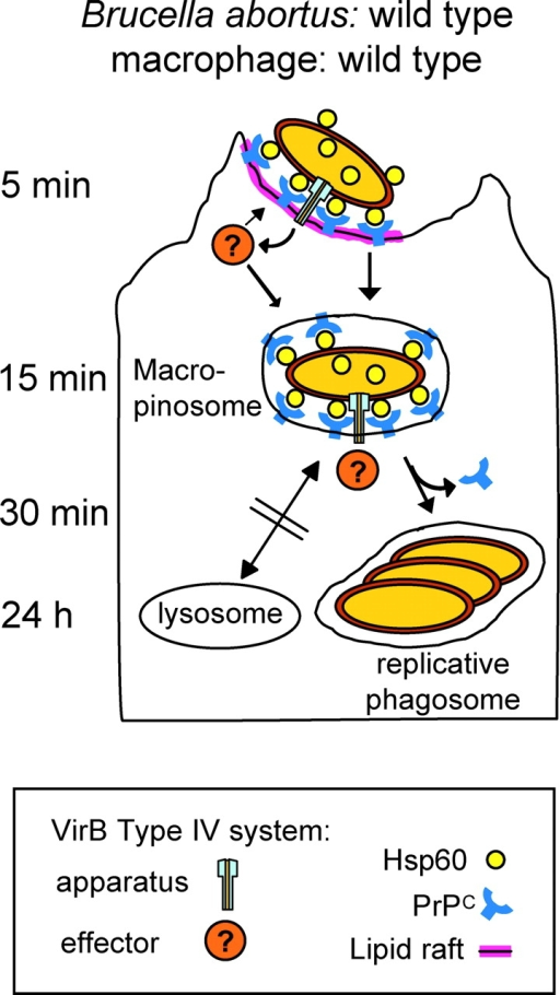Macrophage manipulation by B. abortus: A role for the Hsp60–PrPC interaction. B. abortus transports Hsp60 via the VirB type IV system onto its surface. Upon encounter with a macrophage, Hsp60 binds to PrPC, which is embedded in lipid rafts on the macrophage surface. This is thought to modulate phagocytosis (swimming internalization), mediate macropinosome formation, inhibit lysosome fusion, and steer the macropinosome to the formation of the replicative phagosome. Other, hitherto unknown effector proteins traveling via the VirB system are also involved (see text; based on the findings by Watarai et al. [reference 1]).