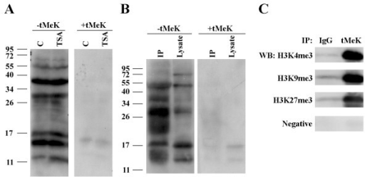 Western blot and immunoprecipitation analysis of proteins from human melanoma cells using the anti-tMeK antibody. A. Cells treated with or without TSA were lysed for Western blot (50 μg/lane) using the trimethyllysine-purified antibody, with and without the presence of free tMeK. B. Western blot analysis of the anti-tMeK immunoprecipitated proteins from the crude lysate of the mouse spleen using anti-tMeK HRP conjugates (0.25 μg/ml). The signal was competitively inhibited by the free tMeK (10 μg/ml). C. Western blot analysis of immunopreciptates by IgG control or anti-tMek antibody with H3K4me3, H3K9me3, or H3K27me3 antibodies.