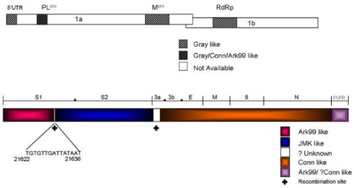 Schematic presentation of the structural region of Ark DPI genome. Entire genome of Ark DPI was analyzed for its similarity with other IBV strains. Top panel: 5'UTR & ORF1. Shadowed regions were used for comparative analysis. 5'UTR-5'-untranslated region; PL1-papain like proteinase1; Mpro-main or 3C-like proteinase; RdRp-RNA-dependent-RNA polymerase. Bottom panel: ORF2 to 3'UTR. Structural genes and their ORFs are marked by (●). Conserved sequence TGTGTTGATTATAAT in S1 gene is shown; ◆ denotes plausible recombination site in Ark DPI.