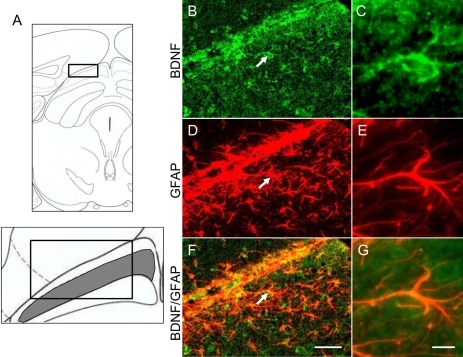 Colocalization of BDNF with GFAP by double immunofluorescence. A: Schematic drawing shows the coronal section through the level of the superior colliculus (SC; bregma −3.40 mm) in mice. The boxed area is the region of the superficial layer in the contralateral SC. Representative photographs show brain-derived neurotrophic factor (BDNF; B and C) and glial fibrillary acid protein (GFAP; D and E) immunostaining, and BDNF/GFAP (F and G) double-immunostaining of the contralateral SC at 30 days after intravitreal N-methyl-D-aspartate (NMDA) injection in mice. Some BDNF-expressing cells (B and C, green) were colocalized with GFAP-positive astroglial cells (D and E, red), as indicated by the yellow color in F (merge of B and D) and G (merge of C and E). The scale bars represents 50 µm (B, D, and F) or 10 µm (C, E, and G).