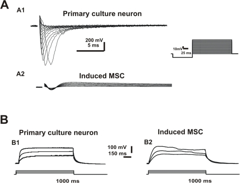 Electrophysiological recordings of Na+ current and AP firing ability.A) Representative voltage-dependent Na+ current recorded during a 100-ms hyperpolarizing pulse, followed by 200-ms depolarizing steps (10-mV increments) (see inset) for primary culture neuron (A1), and chemically-induced MSC (A2). B) Membrane potential of chemically-induced MSC recorded under current clamp. Note the inability to fire AP with depolarizing current steps (50 or 1000 ms).