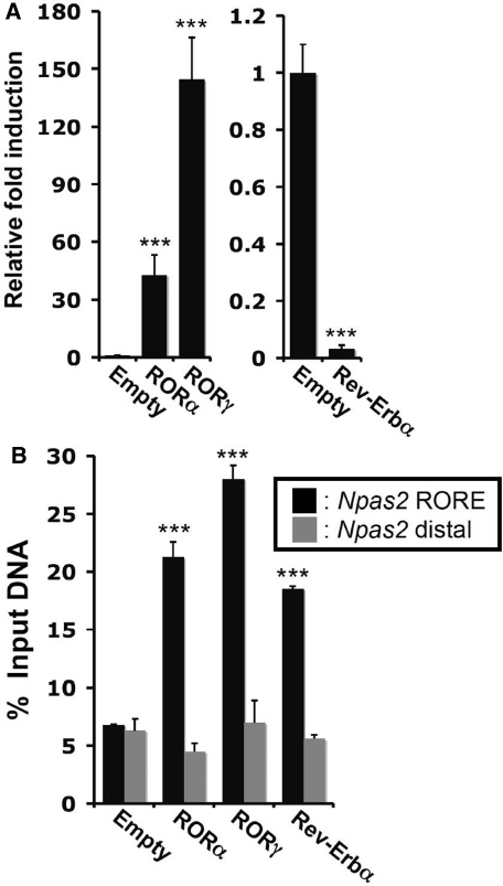 Overexpression of RORα/γ or Rev-Erbα in Hepa1-6 cells, respectively, induced or repressed Npas2 activation. (A) Npas2 gene expression was examined by QPCR analysis in Hepa1-6 cells (n = 5) stably expressing empty vector, Flag-RORα, Flag-RORγ or Flag-Rev-Erbα. The expression of Npas2 in Hepa1-6(Empty) was normalized to 1. Data present mean ± SEM, ***P < 0.001 by ANOVA. (B) RORs and Rev-Erbα were recruited to the Npas2 promoter in Hepa1-6 cells. ChIP analysis was performed with the Hepa1-6 stable cell lines and anti-Flag M2 antibody. Hepa1-6(Empty) served as a negative control. Data present mean ± SEM, ***P < 0.001.
