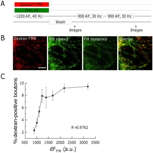 Formation of bulk endosomes correlates with the recycling pool size.(A) Experimental procedure. Hippocampal neurons were simultaneously loaded with 50 µM dextran-TMR and 2.5 µM FM1-43 by a 1200 AP, 40 Hz electrical stimulation. After washing away extracellular dye, images for FM1-43 and dextran-TMR were acquired. Complete destaining of FM1-43 was done by two subsequent electrical stimulations (2×900 AP, 30 Hz). (B) Representative images of dextran-TMR and FM1-43 labelled hippocampal neurons. Scale bar, 10 µm. (C) The number of dextran-TMR-positive spots increases with dF(FM). All synapses in 5 fields of view of each of 3 individual experiments were evaluated by sorting according to their fluorescence intensity and subsequent binning into 8 groups containing equal numbers of terminals. The percentage of dextran-positive terminals in each group was determined. Displayed is the mean of all fields of view. R, spearman's rho.