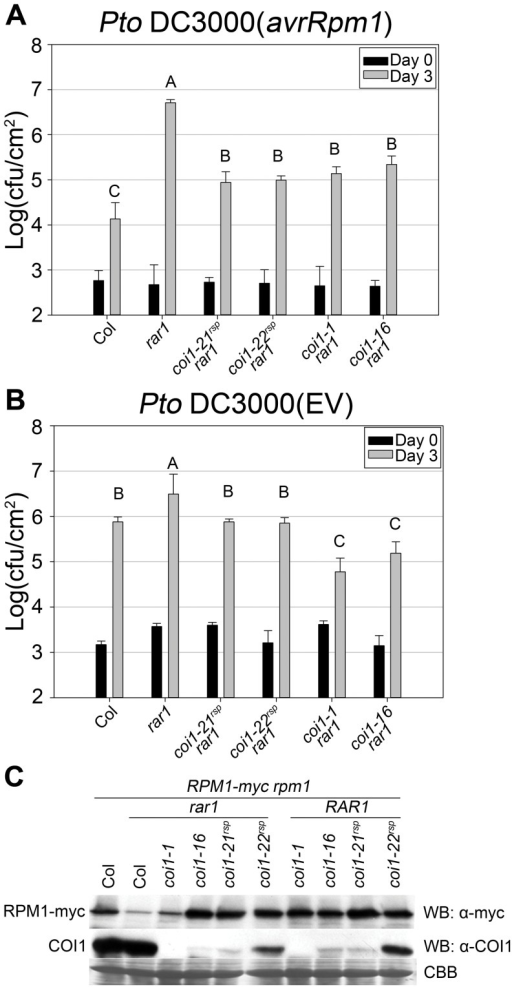 coi1rsp mutants suppress rar1 phenotypes and are not  allele.(A–B) Bacterial growth analysis of (A) Pto DC3000(avrRpm1) and (B) Pto DC3000(EV). Bacteria were hand-infiltrated into leaves of each indicated genotype and counted at day 0 and day 3. Error bars represent 2× SE. Pairwise comparisons for all means for bacterial growth on day 3 were performed with One-Way ANOVA test followed by Tukey-Kramer HSD at 95% confidence limits. (C) Western blot analysis of RPM1-myc and COI1 levels in the indicated genotypes. RuBisCo levels stained by Coomassie Brilliant Blue serve as loading controls. The pathogen growth assays were performed independently three times with similar results. The western blots were performed independently two times with similar results. Both RPM1-myc and COI1 blots used the same protein samples.