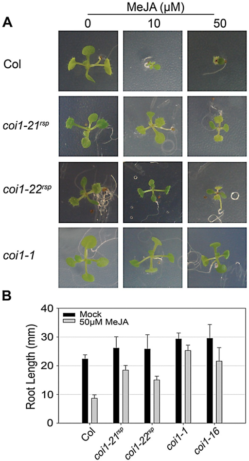 coi1rsp alleles are insensitive to JA.(A) Seedlings of the indicated genotypes were grown on MS medium (control) or medium containing 10 or 50 µM MeJA. (B) Inhibition of root elongation by 50 µM MeJA in at least twenty seedlings of indicated genotypes. This assay was performed independently three times with similar results.