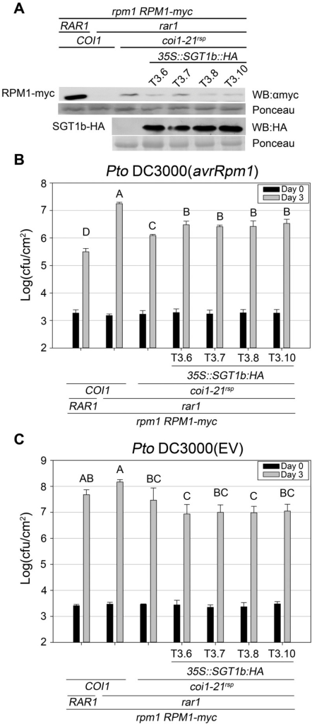 SGT1b over-expression antagonizes coi1rsp-dependent RPM1 accumulation and RPM1-mediated disease resistance in rar1.(A) Western blot analysis of RPM1-myc and SGT1b-HA protein levels in indicated genotypes. RuBisCo levels stained by Ponceau S serve as loading control. The result displayed is one of three independent blots giving similar results. (B–C) Bacterial growth analysis of Pto DC3000(avrRpm1) (B) and Pto DC3000(EV) (C). Bacteria were hand-infiltrated into leaves of each indicated genotype and counted at day 0 and day 3. Error bars represent 2× SE. Pair-wise comparisons for all means for bacterial growth on day 3 were performed with One-Way ANOVA test followed by Tukey-Kramer HSD at 95% confidence limits. The bacterial growth assays were performed independently three times (Pto DC3000(avrRpm1)) and twice (Pto DC3000(EV)) with similar results.
