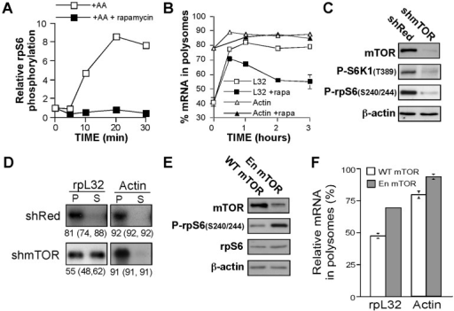 mTOR mediates amino acid-induced translational activation of TOP mRNAs.(A) Kinetics of the effect of rapamycin on mTORC1 activity. 293 cells were amino acid-starved for 2 h and then refed for the indicated time in the presence or absence of 20 nM rapamycin, after which cells were harvested. The cytoplasmic proteins were subjected to Western blot analysis with anti-rpS6 or anti-Phospho-rpS6 antibodies. The chemiluminescent signals of phospho rpS6 were quantified and normalized to those obtained for rpS6 within the same protein extract. The results are numerically presented relative to those obtained for amino acid-starved cells (time zero), which were arbitrarily set at 1. (B) Kinetics of the effect of rapamycin on polysomal association of TOP mRNAs. HEK293 cells were amino acid-starved for 3 h (time zero), and then refed in the absence (open symbols) or presence (filled symbols) of 20 nM rapamycin (rapa). At the indicated times cells were harvested and cytoplasmic extracts were subjected to polysomal analysis. The percentage of mRNA in polysomes at each time point is presented as an average of at least 2 measurements. (C) HEK293 cells were infected with viruses expressing HcRed (Red) shRNA or mTOR shRNA1. Cells were amino acid-starved for 3 h followed by 3 h amino acid stimulation on day 4 post-infection. The abundance of mTOR and its activity were monitored by Western blot analysis of cytoplasmic proteins with the indicated antibodies. (D) Cytoplasmic extracts from cells described in (C) were subjected to polysomal analysis. (E) and (F) HEK293 were transiently transfected with plasmid-based vectors expressing either wild-type (WT) mTOR or enhanced (En) mTOR. 48 h later cells were amino acid-starved for 3 h and harvested. Cytoplasmic proteins were subject to Western blot analysis (E) and cytoplasmic extracts to polysomal analysis (F). The percentage of mRNA in polysomes is presented as an average ± SEM of three experiments.