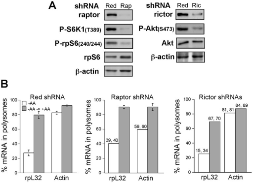 Raptor and rictor are dispensable for translational activation of TOP mRNAs by amino acids.(A) HEK293 cells were infected with viruses expressing Red shRNA, raptor shRNA (Rap) or rictor shRNAs (Ric). The abundance of raptor or rictor, as well the phosphorylation status of direct and indirect substrates of the respective complexes, mTORC1 and mTORC2 (left and right, respectively), was monitored by Western blot analysis. (B) HEK293 cells infected with viruses expressing HcRed, raptor or rictor shRNA were amino acid starved for 3 h (−AA) or starved and then refed for 3 h (−AA→+AA). Cytoplasmic extracts from these cells were subjected to polysomal analysis and the data are presented as described in the legend to Fig. 2F. Numbers above bars are individual values, when only two measurements were performed.