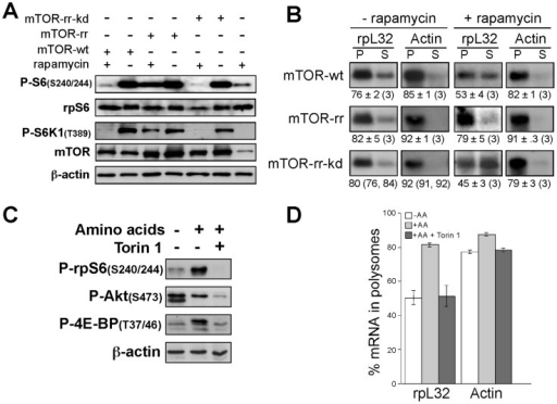 The kinase activity of mTOR is essential for translational control of TOP mRNAs.(A) HEK293 cells were transfected with vectors expressing mTOR-wt, mTOR-rr or mTOR-rr-kd, two days later the cells were amino acid-starved for 3 h followed by 3 h refeeding without or with 20 nM rapamycin. Cytoplasmic proteins derived from the cells were subjected to Western blot analysis with the indicated antibodies. B) Cytoplasmic extracts derived from cells treated as described in (A), were subjected to polysomal analysis. C) HEK293 cells were amino acid-starved for 3 h, or amino acid-starved for 3 h followed by 3 h refeeding without or with 50 nM Torin1. Cytoplasmic proteins derived from the cells were subjected to Western blot analysis with the indicated antibodies. D) Cytoplasmic extracts derived from cells treated as described in (C) were subjected to polysomal analysis and the percentage of mRNA in polysomes is presented as an average ± SEM of three experiments.