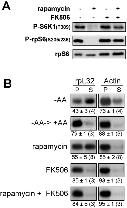 Rapamycin represses the translation of TOP mRNAs in an FKBP-12-dependent fashion.(A) HEK293 cells were amino acid-starved for 3 h and then refed for 3 h in the absence or presence of rapamycin (20 nM), FK506 (20 mM), or both. Cytoplasmic proteins were subjected to Western blot analysis. (B) HEK293 cells were amino acid-starved for 3 h (−AA), refed for 3 h (−AA→+AA) in the absence or presence of rapamycin (20 nM), FK506 (20 mM) or both. Cytoplasmic extracts were subjected to polysomal analysis.