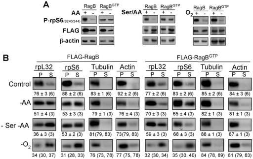 Overexpression of RagBGTP can derepress TOP mRNA translation in amino acid-starved cells, but not in cells deprived of oxygen.(A) HEK293 cells were infected with lentiviral expression vectors encoding FLAG-RagB or FLAG-RagBGTP. 48 h post infection cells were subjected to selection by puromycin and 48 h later were either kept untreated (+), amino acid-starved for 8 h (−AA), amino acid starved during the last 3 h of 24 h serum starvation (–Ser/AA) or deprived of oxygen (−O2) for 16 h. Cells were harvested and their cytoplasmic proteins were subjected to Western blot analysis using the indicated antibodies. (B) Polysomal analysis of cytoplasmic extracts from cells treated as describe in (A).