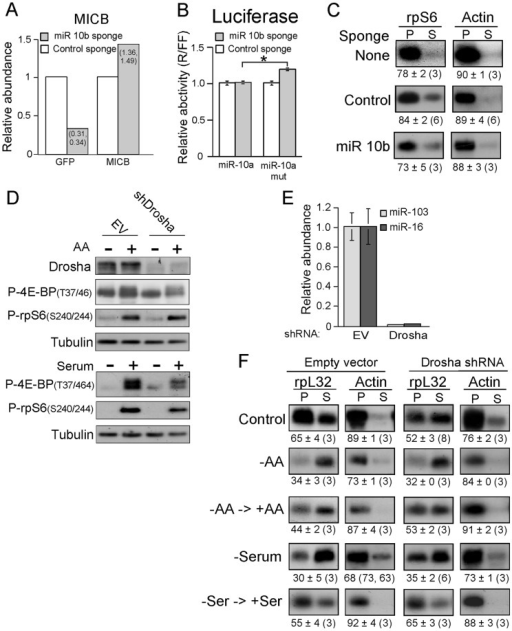 Knockdown of miRs fails to suppress translational activation of TOP mRNAs.(A) MDA-MB-231 cells were infected with lentivirus expressing either anti-miR 10b sponge or anti-miR-BART 1–5p sponge (control). The fluorescent signals of MICB and GFP were analyzed by FACS. The mean intensity of MICB or GFP in the control miR–transduced cells was arbitrarily set up to be 1, and the relative increase in the MICB expression or the decrease in the GFP fluorescence in sponge-10b–transduced cells was calculated accordingly (individual numbers are presented within the bars). (B) MDA-MB-231 cells infected with lentiviruses described in (A) were transiently transfected with Dual luciferase PsiCheck2 reporter vectors. These vectors contained within the 3′ UTR of the Renilla luciferase either a fragment from the 3′-UTR of NCOR2 that bears miR-10a/10b binding site (designated miR-10), or a negative control with a mutated miR-10a/10b seed region (designated miR-10mut). The Renilla to Firefly activity ratio (R/FF) was calculated for each sample and the average obtained for the miR-10b sponge-infected cells was normalized to that obtained for the control sponge-infected cells, which arbitrarily was set at 1.0. (*) p<0.001 versus miR-10a transfected cells (n = 8). (C) MDA-MB-231 cells that were either kept uninfected (None), expressed anti-miR 10b sponge or control sponge (Control) were kept untreated and cytoplasmic extracts from these cells were subjected to polysomal analysis. (D) and (F) RKO cells infected with Sin 18, an empty lentiviral vector (EV), or by lentivirus expressing shDrosha RNA. Cells were either untreated [Control in (F)], starved for serum for 19 h and during the last 3 h also for amino acids and then either kept without serum and amino acids [− in (D); −AA in (F)] or refed for just amino acid for additional 2 h [+ in (D); −AA→+AA in (F)]. Similarly infected cells were serum starved for 48 h [−in (D); –Serum in (F)] or serum starved for 48 h and then serum refed for 3 h [+ in (D); –Ser →+Ser in (F)]. Cells were harvested and subjected to Western blot analysis with the indicated antibodies (D) or subjected to polysomal analysis (F). (E) Total RNA was prepared from RKO cells infected with either empty lentiviral vector (EV) or lentivirus expressing shDrosha RNA. The abundance of each of the indicated miRs in Drosha knockdown cells was normalized to that in cells infected with empty vector, which was arbitrarily set at one.