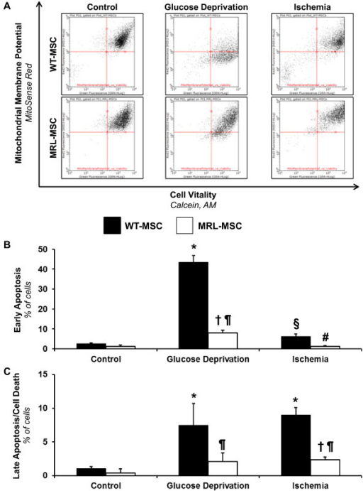 Effects of 48-hour glucose deprivation and ischemia on wild-type mesenchymal stem cell (WT-MSC) and MRL/MpJ mesenchymal stem cell (MRL-MSC) apoptosis. (A) Representative fluorescence-activated cell sorting analysis of apoptotic cells after mitosense red and calcein, AM staining. Healthy, viable MSCs are mitosense red+/calcein, AM+. The mitosense red-/calcein, AM+ MSCs are in the early apoptotic phase, whereas the mitosense red-/calcein, AM+ MSCs are in the late apoptotic/cell death phase. (B) Quantitation of MSC early apoptosis induced by 48 hr glucose deprivation and ischemia with mitosense red and calcein, AM staining. The graph shows the percentage of all MSCs that are mitosense red-/calcein, AM+ MSCs after glucose deprivation and ischemia. (C) Quantitation of MSC late apoptosis/cell death induced by 48 hr glucose deprivation and ischemia with mitosense red and calcein, AM staining. The graph shows the percentage of all MSCs that are mitosense red-/calcein, AM- MSCs after glucose deprivation and ischemia. n = 6-7 independent experiments, data are mean ± S.E.M. *p < 0.05 vs. WT-MSC Control. †p < 0.05 vs. MRL-MSC Control. ¶p < 0.05 vs. WT-MSC of identical experimental conditions. §p < 0.05 vs. WT-MSC Glucose Deprivation. #p < 0.05 vs. MRL-MSC Glucose Deprivation.
