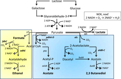 The pyruvate metabolism ofLactococcus lactis.ldh: gene coding for the lactate dehydrogenase; pdhA-D: genes coding for the pyruvate dehydrogenase complex; pfl: gene coding for pyruvate formate-lyase; adhE: gene coding for the acetaldehyde dehydrogenase; adhA: gene coding for the alcohol dehydrogenase; pta: gene coding for the phosphotransacetylase; ackA: gene coding for the acetate kinase, als: gene coding for catabolic and anabolic 2-acetolactate synthase; aldB-C: gene coding for the acetolactate decarboxylase; butA: gene coding for the diacetyl reductase; butB: gene coding for the acetoin reductase; noxE: gene coding for the NADH oxidase (NOX). Adapted from Oliveira et al.[29]. The blue area represents pathways up-regulated in O2 condition, and the yellow area represents pathways up-regulated in N2 condition.