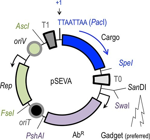 The formatted structure of SEVA plasmids. SEVA vectors are shaped by three basic modules: a cargo (blue), a plasmid replication origin (green) and an antibiotic marker (magenta). Restriction sites that punctuate the boundaries between modules in all constructs are indicated. Note the numbering position +1 of the DNA sequence is the first T of the unique PacI site. The directionality of the stronger transcription flow in the genetic device engineered in the cargo and the preferred site for inserting functional gadgets are indicated. See http://seva.cnb.csic.es for details.