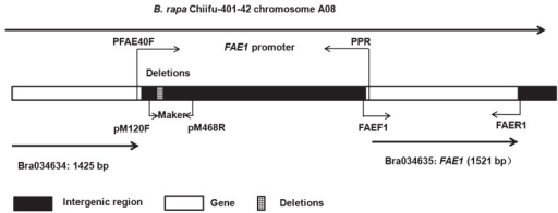 Schematic representation of the position of FAE1 and its promoter in the B. rapa chromosome.