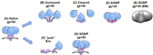"HIV-1 Env trimers for experimental vaccine use. (A) Functional, cleaved HIV-1 Env expressed in a viral, infected cell, or VLP membrane; (B) Uncleaved soluble gp140 trimer with ""open"" structure; (C) Cleaved gp140 is unstable resulting in subunit dissociation; (D) SOSIP gp140 is stabilized by disulfide bonds and maintains a compact ""closed"" conformation; (E) EM reconstruction of BG505 SOSIP gp140 at 24A resolution showing compact globular morphology, from [93] with permission; (F) HIV-1 gp160 expressed from infected or transfected cells contains a proportion of so-called ""junk"" forms that may compete with the native trimeric forms for induction of neutralizing antibodies [79]. These may be at least partially removed by protease treatment [79]; (G) Disulfide (SOS)-stabilized membrane-anchored Env trimer [79,90]."