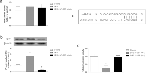 MiR-210 targeted DR6 in chondrocytes.(a) mRNA levels of DR6 in chondrocytes with different treatment; (b) Protein levels of DR6 in chondrocytes with different treatment; (c) prediction result of miR-210 targeting DR6 3′-UTR; (d) relative luciferase activity of 293T cells with different treatment. Data are represented as mean ± SD of three experimental replicates. *P < 0.05 vs. control group, #P < 0.05 vs. LPS group.