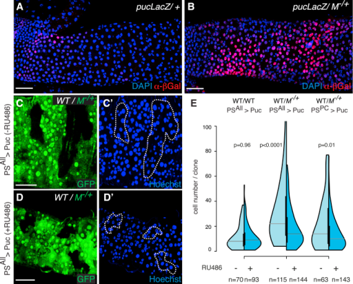 JNK Activation Promotes the Clonal Expansion of Wild-Type Cells(A and B) puc-LacZ expression (α-β-Gal staining) in 3-day-old WT (FRT82B, pucA251/TM6B) (A) and M−/+ (B) guts (FRT82B, pucA251/FRT82B, RpS3∗).(C and D) Representative images of WT clones in M−/+ guts with (D and D′) or without (C and C′) continued expression of Puc in all progenitor cells and ECs from the time of clone induction (−RU486 and +RU486, C and D, respectively; hsflp/+; PSwitchALL/UAS Puc; FRT82B, ubiGFP, RpS3/FRT82B).(E) Analysis of clone-size distributions for WT clones either in WT guts (left) or in M−/+ guts (middle and right graphs), with (dark blue) or without (light blue) continued expression of Puc (as in C and D). Genotypes: left: hsflp/+; PSwitchALL/UAS Puc; FRT82B, ubiGFP/FRT82B; middle: hsflp/+; PSwitchALL/UAS Puc; FRT82B, ubiGFP, RpS3/FRT82B; right: hsflp/+; PSwitchPC/UAS Puc; FRT82B, ubiGFP, RpS3/FRT82B. p values (Mann-Whitney test) are indicated above each experiment.Scale bars represent 50 μm. See also Figure S3.