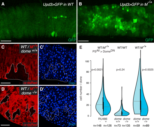 JAK-STAT Activation Fuels the Clonal Expansion of Wild-Type Cells(A and B) Expression of GFP driven by upd3-Gal4 in 5-day-old WT (A) (Upd3Gal4, UASGFP/+; FRT82, tub-CD2-DsRed/+) and M−/+ (B) guts (Upd3Gal4, UASGFP/+; FRT82, tub-CD2-DsRed, RpS3/+).(C and D) Representative images of WT clones either in M−/+ guts (C and C′; hsflp/+;; FRT82B, tub-CD2-DsRed, RpS3/FRT82B) or in M−/+ guts with reduced JAK-STAT activity by removal of one functional copy of dome (dome−/+) (D and D′; hsflp/domeG0218;; FRT82B, tub-CD2-DsRed, RpS3/FRT82B).(E) Analysis of clone-size distributions for WT clones either in WT guts or in M−/+ guts, with (dark blue) or without (light blue) reduction of JAK-STAT pathway activity by expression of DomeDN (PSAll, ±RU486) or by removal of one functional copy of dome (dome−/+). Genotypes: left: hsflp/+; PSwitchALL/UAS DomeDN; FRT82B, ubiGFP, RpS3/FRT82B; middle: [WT/WT dome+/+] hsflp/+;; FRT82B, tub-CD2-DsRed/FRT82B; [WT/WT dome−/+] hsflp/domeG0218;; FRT82B, tub-CD2-DsRed/FRT82B; right: [WT/M−/+ dome+/+] hsflp/+;; FRT82B, tub-CD2-DsRed, RpS3/FRT82B; [WT/M−/+ dome−/+] hsflp/domeG0218;; FRT82B, tub-CD2-DsRed, RpS3/FRT82B. p values (Mann-Whitney test) are indicated above each experiment.Scale bars represent 50 μm. See also Figure S4.