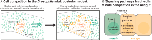 Adult Tissue Dynamics and Signaling Pathways during Minute Competition(A) Active cell competition between healthy and subfit cells in the Drosophila homeostatic midgut causes loss of subfit tissue. M−/+ differentiated cells are eliminated via apoptosis and M−/+ ISCs are lost, possibly by cell death or induction of differentiation (left). Conversely, the presence of unhealthy tissue promotes expansion of healthy stem cells and their progeny. ISCs increase their proliferation rate and their symmetric self-renewal, which fuels clonal expansion (right).(B) M−/+ cells drive the clonal expansion of fit cells through an inflammatory-like response. Chronic JNK signaling activation in M−/+ cells activates constitutive expression of the JAK-STAT ligand Unpaired-3. Secreted Unpaired-3, via binding to its receptor Dome, activates JAK-STAT signaling, stimulating the proliferative expansion of wild-type clones during cell competition.