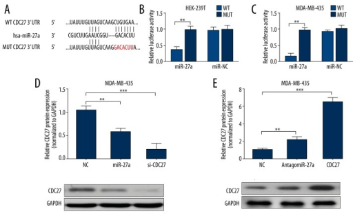 MiR-27a directly targets CDC27 and regulates its expression in TNBC cells. (A) The putative binding site between miR-27a and CDC27 and the designed mutant sequence without the pairing. (B, C) The relative firefly luciferase activity in HEK-293T (B) and MDA-MB-435 (C) cells co-transfected with 150 ng reporter plasmids and 50 nM miR-27a mimics. Both firefly and Renilla luciferase activities were measured 24 h after transfection and the firefly luciferase activity was normalized to the Renilla luciferase activity. (D, E) Western blot analysis of CDC27 protein expression in MDA-MB-435 transfected with miR-27a mimics or siCDC-27 (D) or transfected with antagomiR-27a or infected with CDC-27 lentiviral particles (E). Data are shown as mean ±S.D. by 3 independent experiments. * P<0.05, ** P<0.01, *** P<0.001.