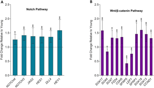 (A) Notch pathway and (B) Wnt/β-catenin pathway genes are altered with aging in human bone biopsies.Genes in the Notch pathway and Wnt/β-catenin pathway are significantly altered in old relative to young women revealed by RNAseq based on pathway analysis using the Ingenuity Pathway Analysis software (see Statistical analyses). Values are presented as median fold changes (95% CIs) for old relative to young subjects. †p < 0.01; ‡p < 0.001.
