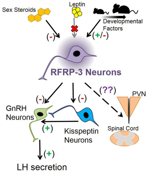 Schematic depicting how Rfrp neurons may fit into mouse neuroanatomy and physiology. Sex steroids are known to inhibit Rfrp expression, primarily through estrogen pathways, while leptin appears to have no major direct effect on Rfrp neurons, at least in development. There appear to be other developmental factors that regulate the development of Rfrp expression which are both stimulatory and inhibitory that remain to be determined. RFRP-3 neurons have efferents that may regulate LH secretion by acting directly on GnRH neurons, or indirectly on GnRH neurons through arcuate kisspeptin neurons or other yet-to-be identified neuronal populations. Other RFRP-3 neuronal target areas include the paraventricular nucleus (PVN) and the spinal cord, and RFRP-3 has unknown effects on these non-reproductive regions.