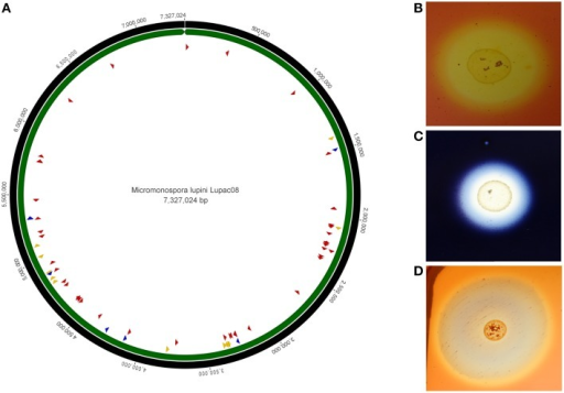 Circular genome representation of Micromonospora lupini, Lupac 08. (A) Distribution of various plant-cell wall hydrolytic enzyme loci. Red, cellulases, and cellulose-binding sites; blue, pectinases; yellow, xylanases. (B)In vitro cellulase degradation. (C)In vitro starch degradation. (D)In vitro xylanase degradation (Based on Trujillo et al., 2014b).